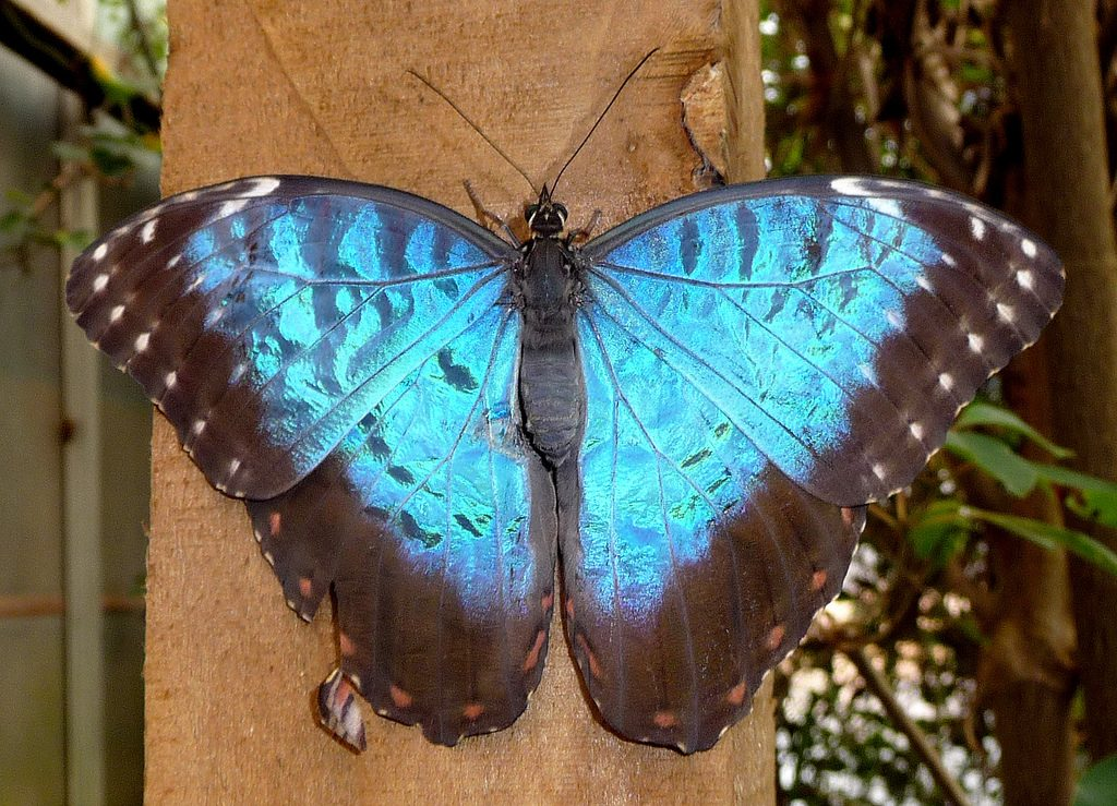 The beautiful blue morpho | © Gail Hampshire / Flickr