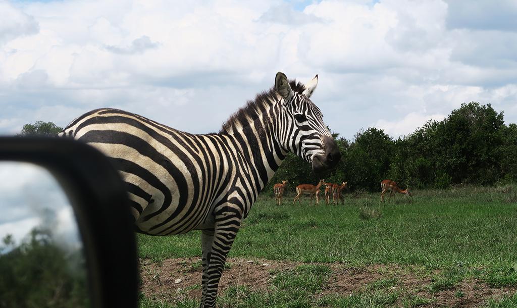 Zebra| © Jean Wnadimi/Authors Own