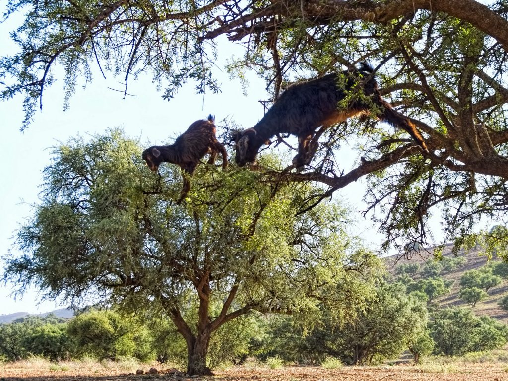 Goats feeding on argan fruit