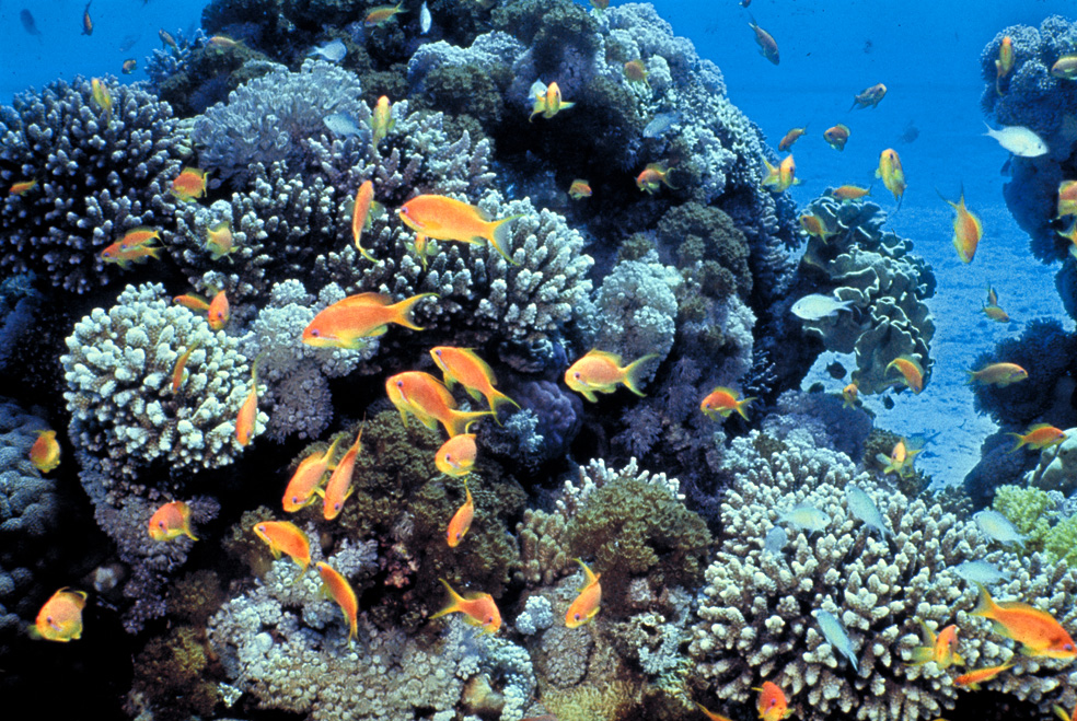 The coral reef in the Gulf of Eilat, Red Sea | David Darom / Wikimedia Commons