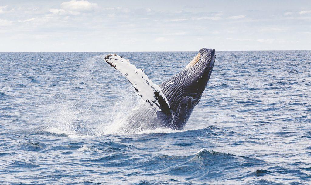 Whale | © Thomas kelley/ Unsplash