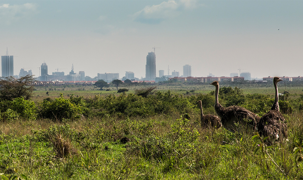 Ostriches in Nairobi National Park   © Ninara/ Flickr