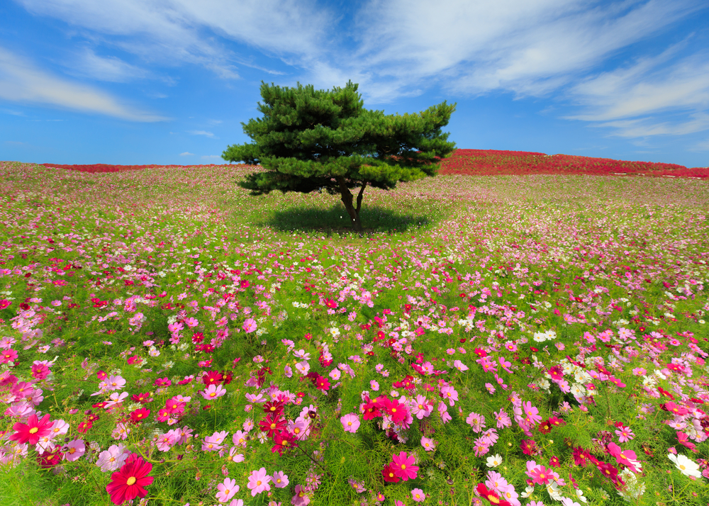 These Amazing Photos Prove Hitachi Seaside Park Is The Most Beautiful Place On Earth