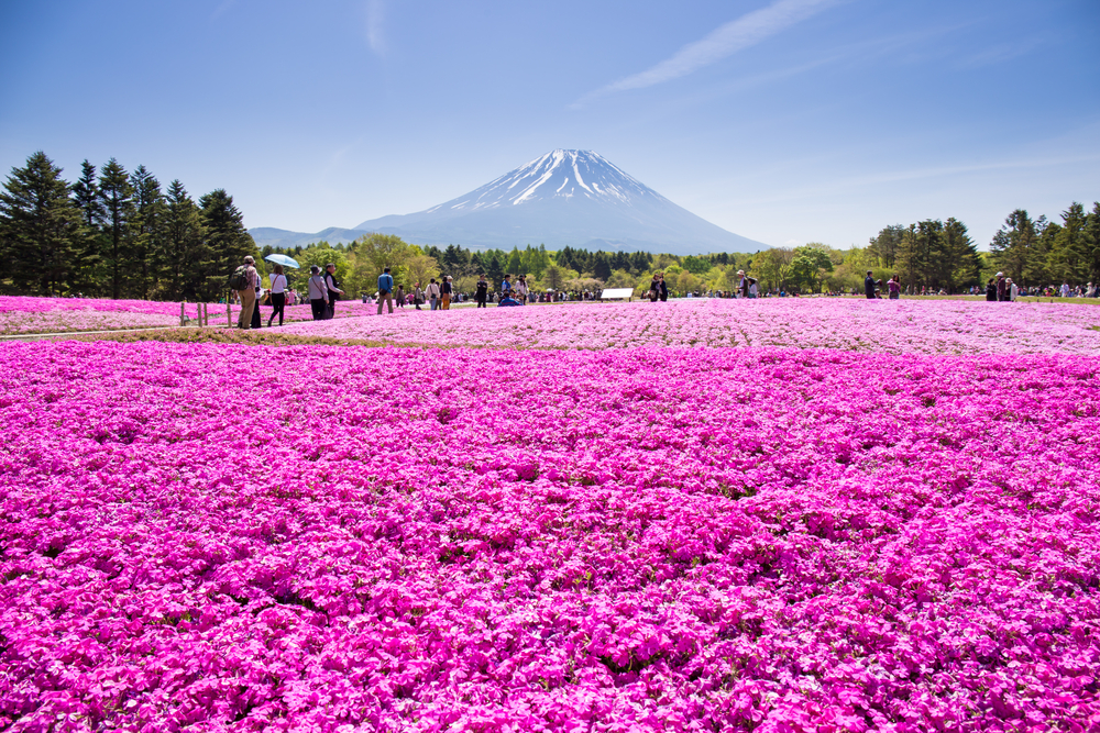 Japans Breathtakingly Beautiful Pink Carpet Is Pure -2031