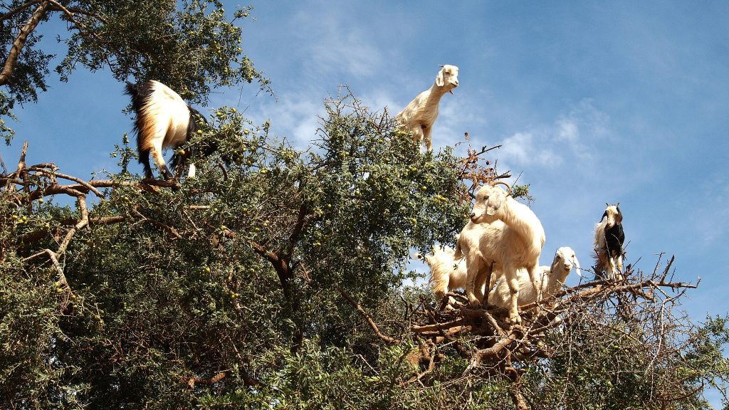 More goats in trees