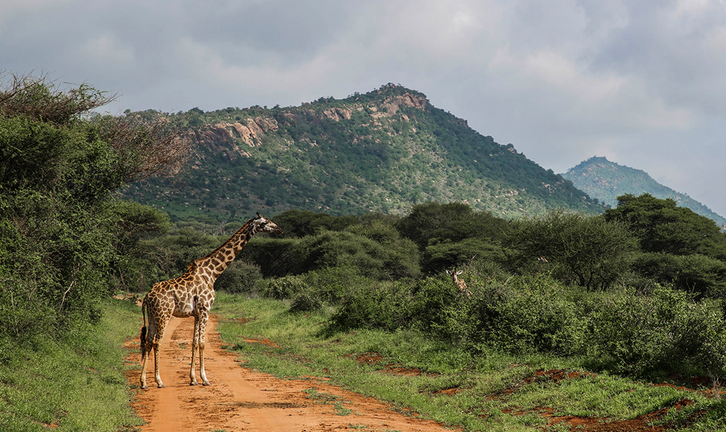 Giraffe in Tsavo West | © Ninara / Flickr