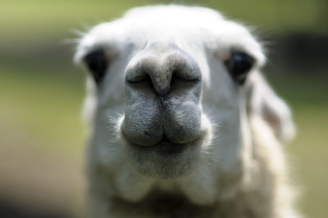 17 Things You Need To Know About Llamas In Peru