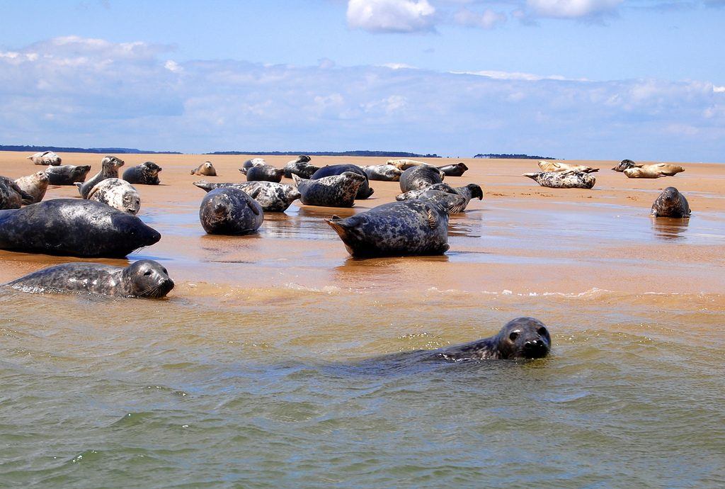Blakeney Point Seals | © Dun.can/Flickr