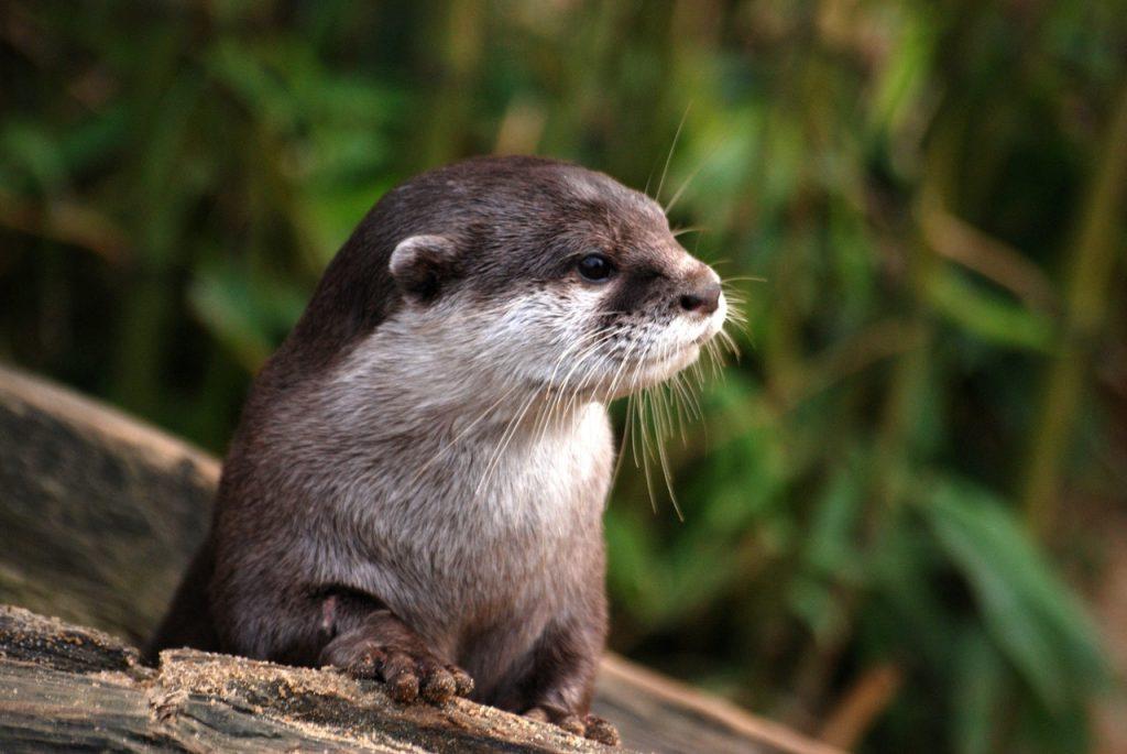 Otter   © Stevebidmead/Pixabay