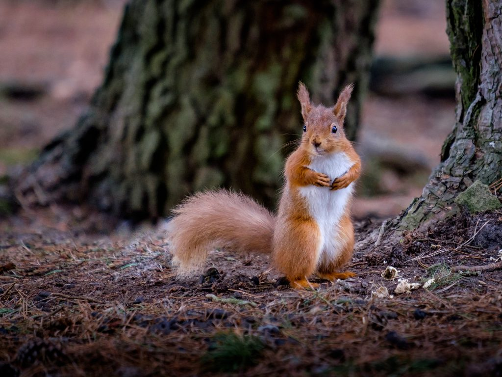 Red squirrel | © herdiephoto/Flickr