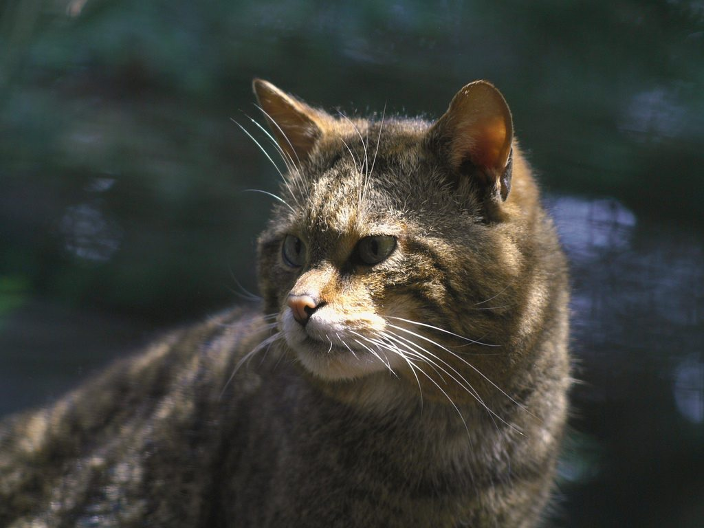 Scottish wildcat | © Old Rollei/Flickr