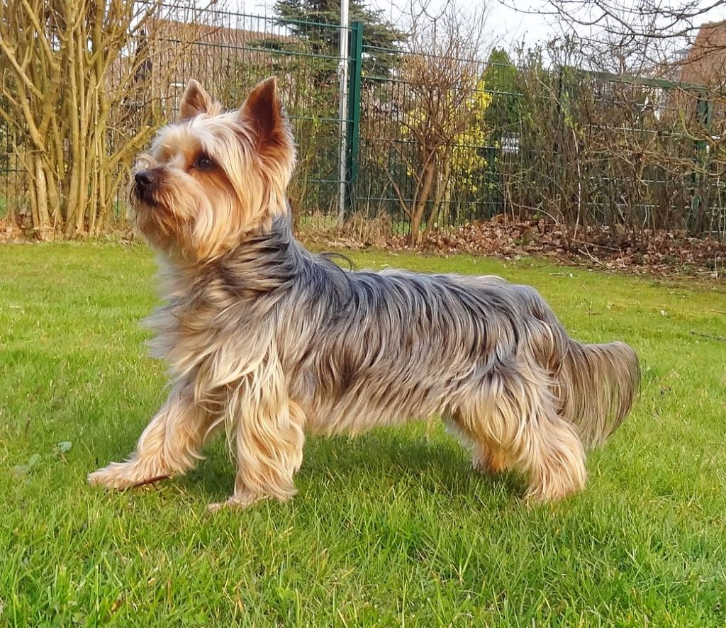 A Brief History Of The Yorkshire Terrier
