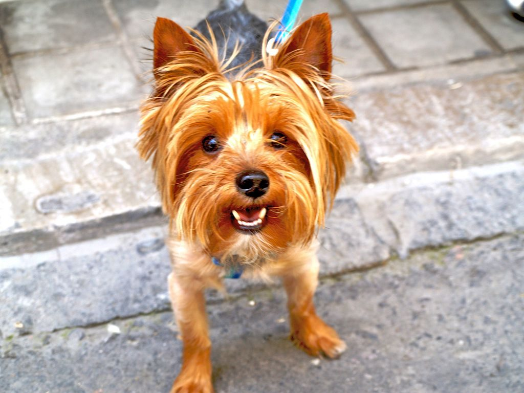 yorkie history a brief history of the yorkshire terrier 7136