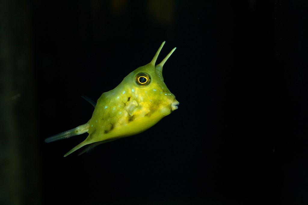 Lactoria Cornuta At St Andrews Aquarium | © WikiCommons