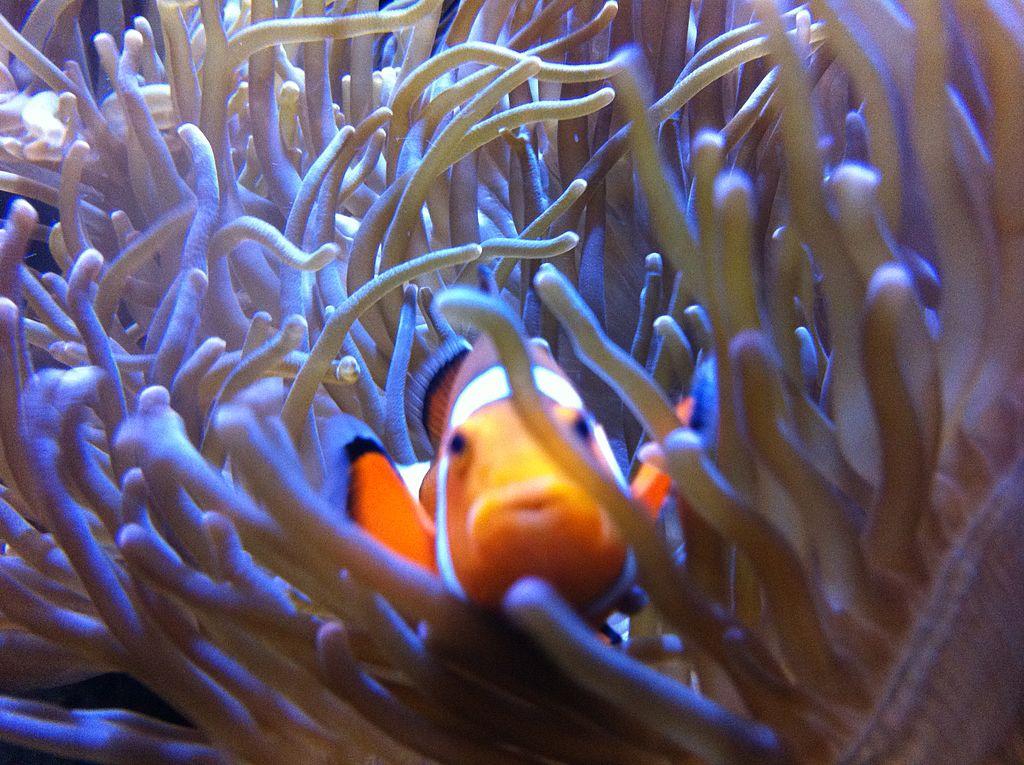 A clown fish at the Getxo Aquarium near Bilbao   ©Alan / Wikimedia Commons