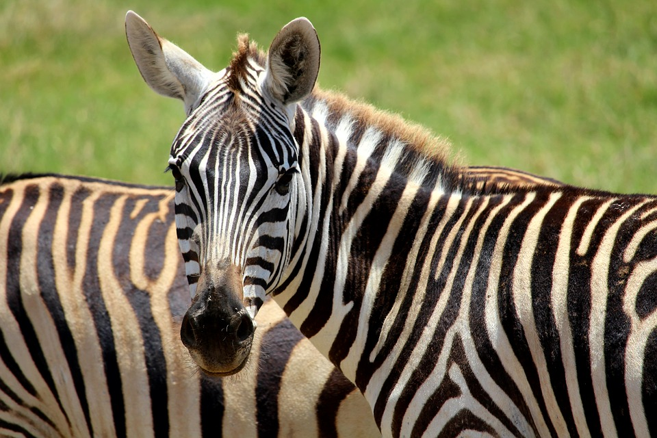 Zebras | fuzzel2502 / Pixabay