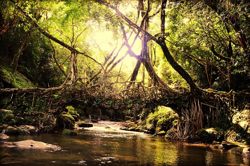 Living root bridges are a form of tree shaping unique to Meghalaya | © Himanshu Tyagi / Wikimedia Commons