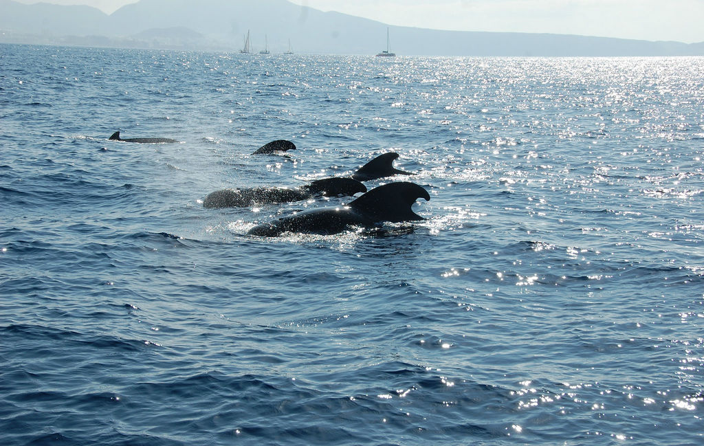 Pilot whales off Tenerife | © Paul Dunleavy / Flickr