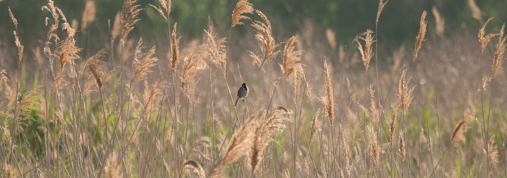 Reed Bunting, Rainham Marshes | © Paul/Flickr