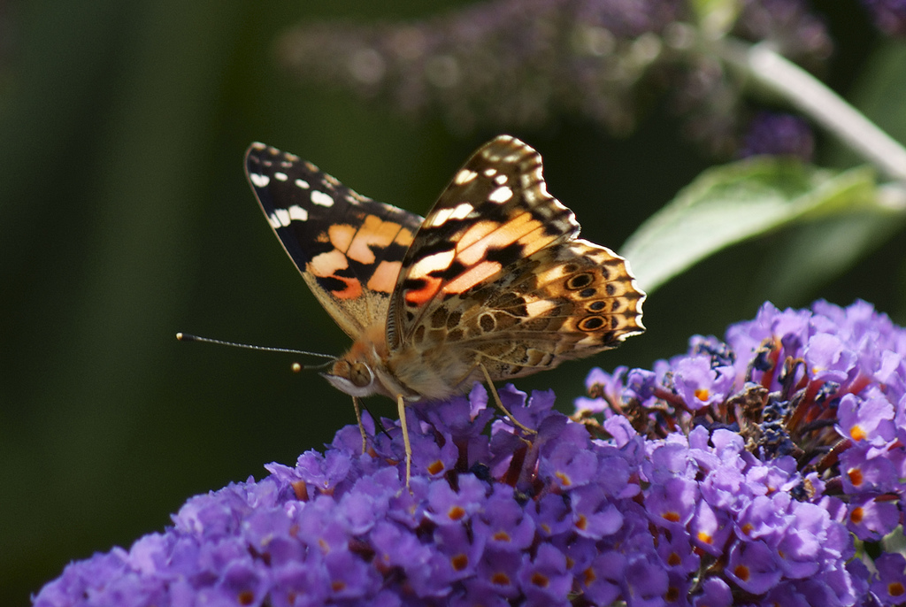 African Painted Lady butterfly