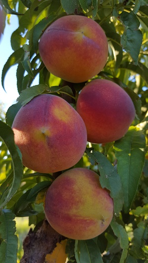 Peaches for sell at Gilcrease Orchard | Courtesy of Gilcrease Orchard