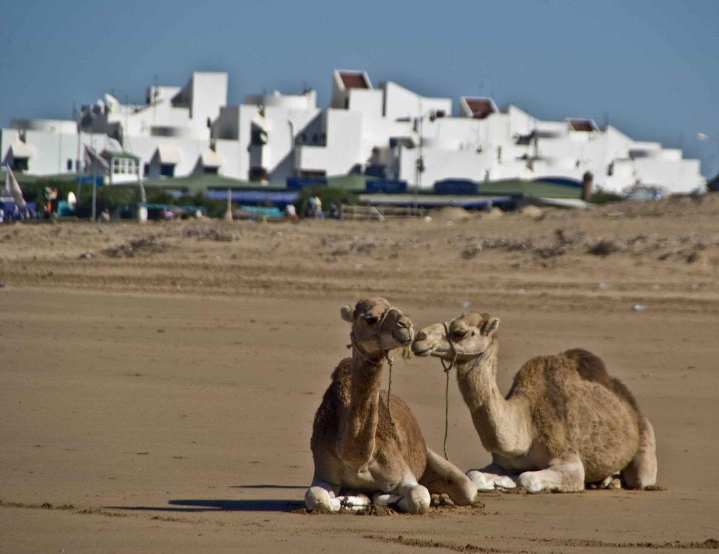 Camels close to town