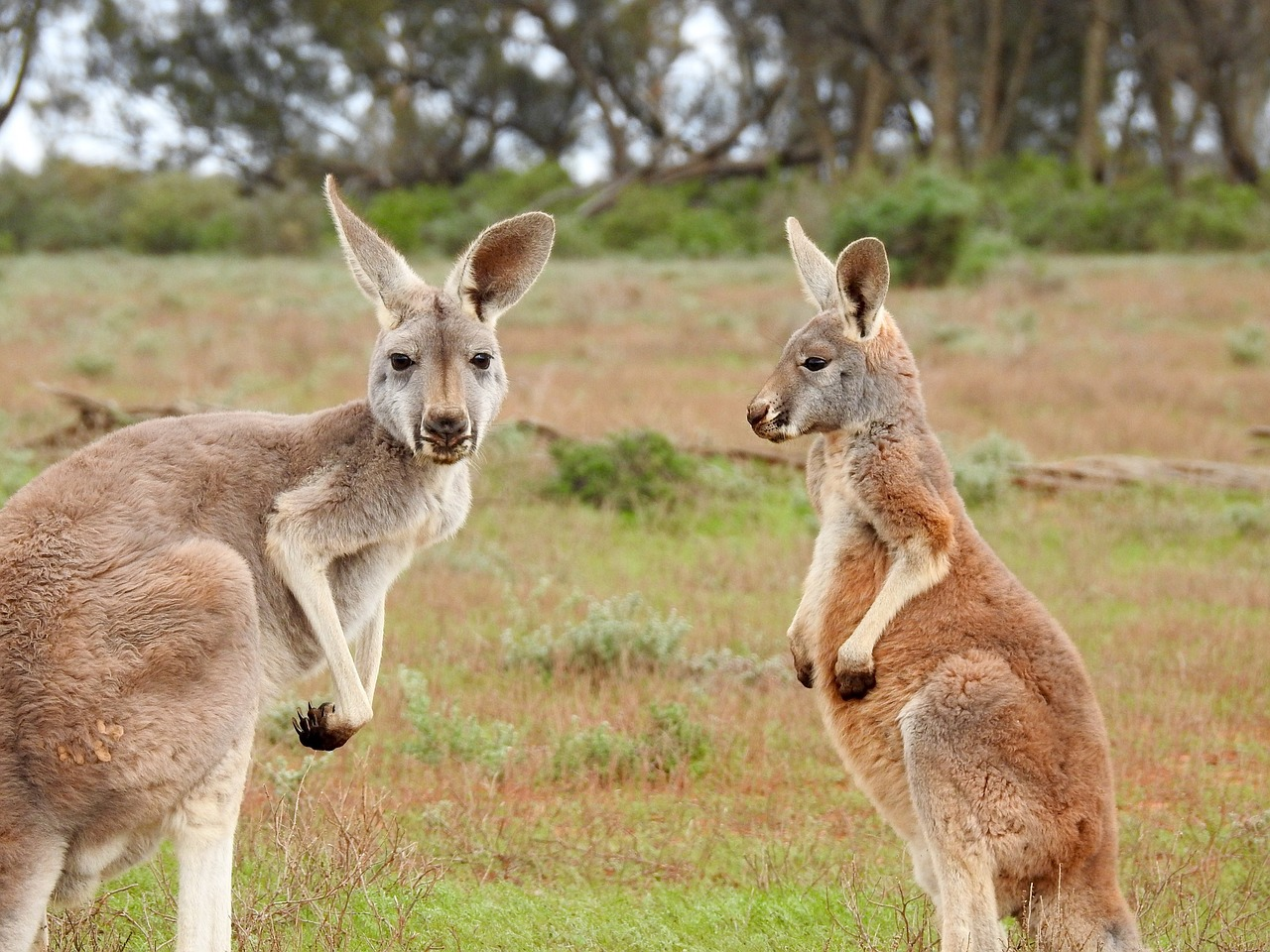 What do they eat kangaroos
