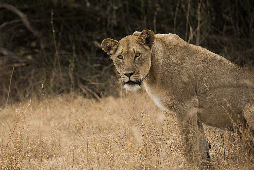 Lioness in Akagera National Park