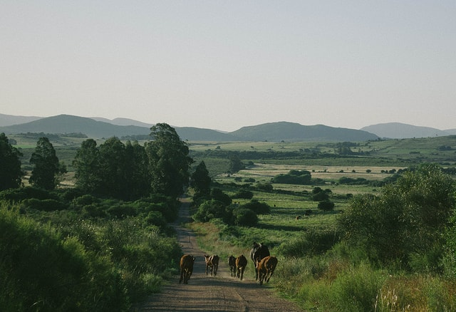 Uruguayan countryside fields with cows