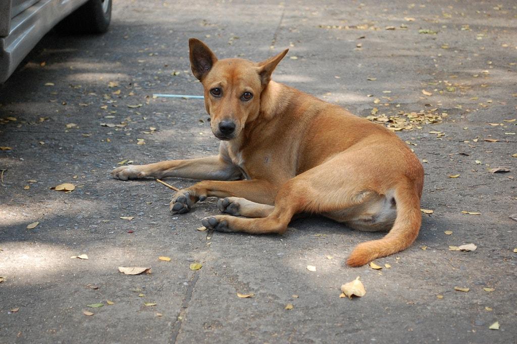 A Bangkok soi dog | © ElsieNessie/Flickr