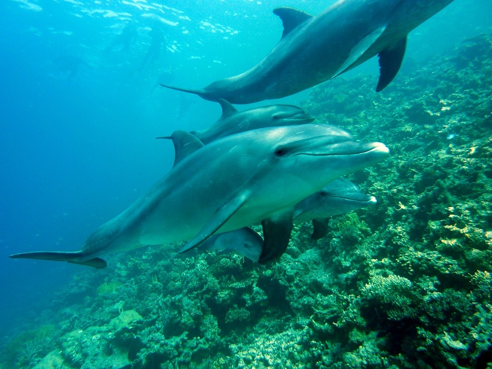 Diving with dolphins | © joakant / Pixabay
