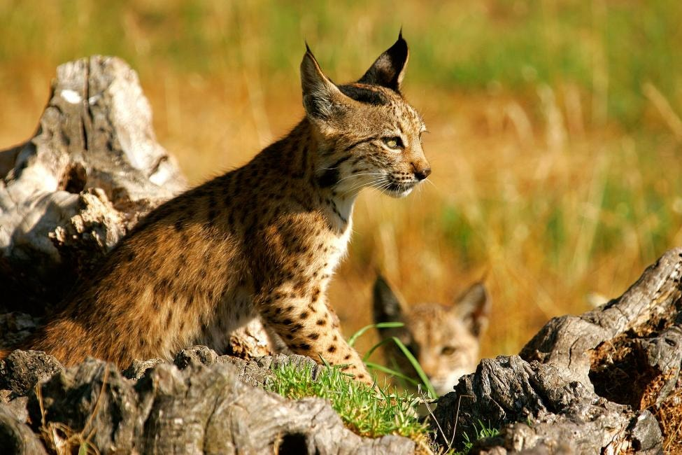 Iberian Lynx | ©http://www.lynxexsitu.es / Wikimedia Commons