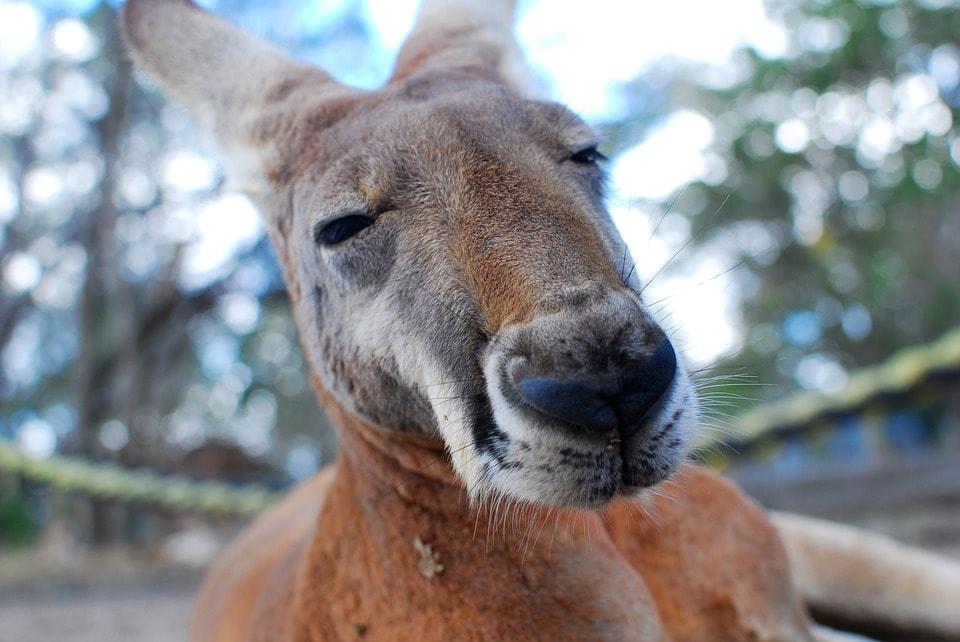 Kangaroo | © Free-Photos_Pixabay