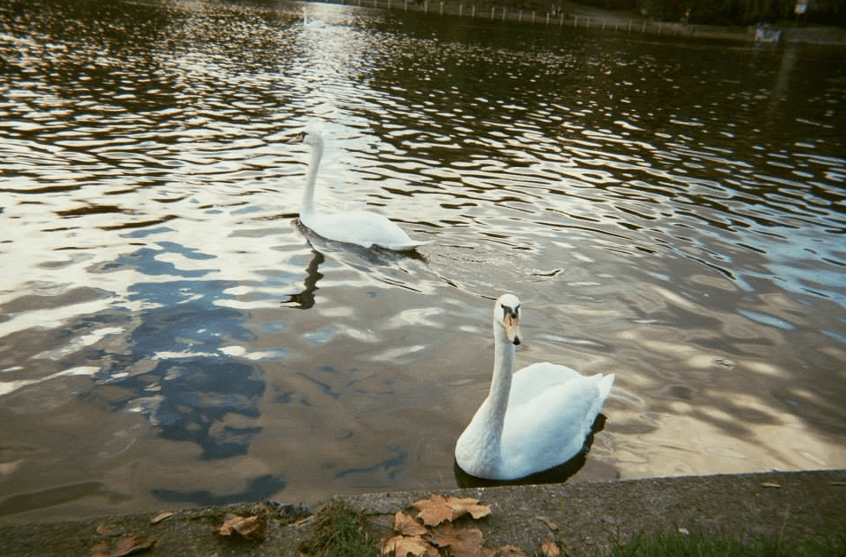 Swans in Berlin   Courtesy of Adam Lempel
