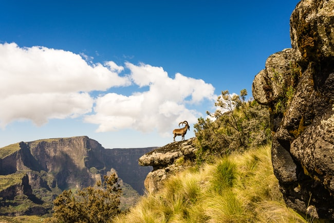 Ibex in The Simien Mountains of Ethiopia   © Michael De Plaen/Shutterstock