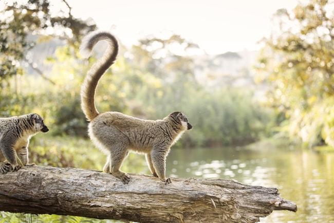 Lemur in their natural habitat, Madagascar   © danm12/Shutterstock