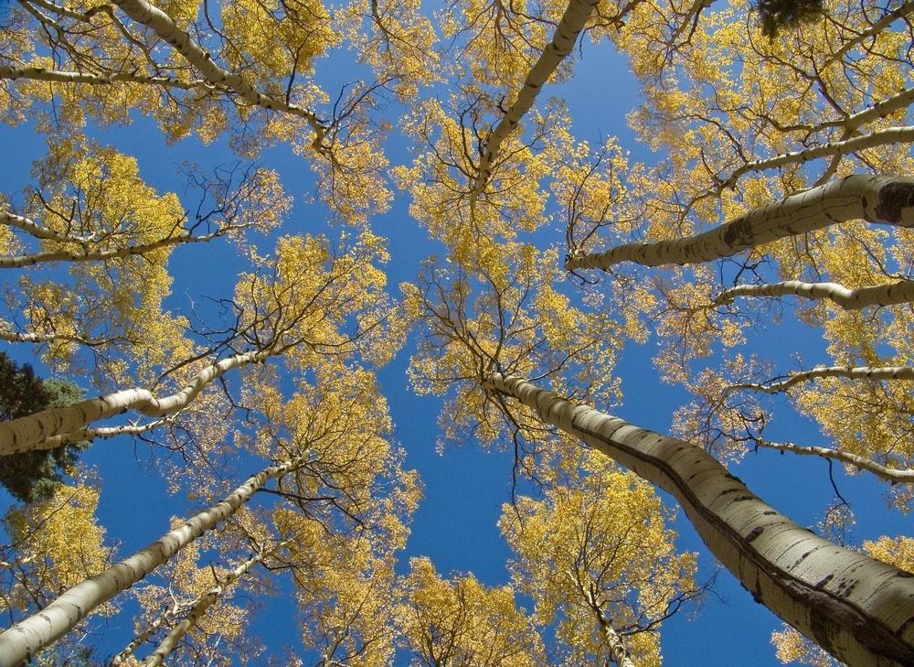 Golden Aspen Trees, New Mexico