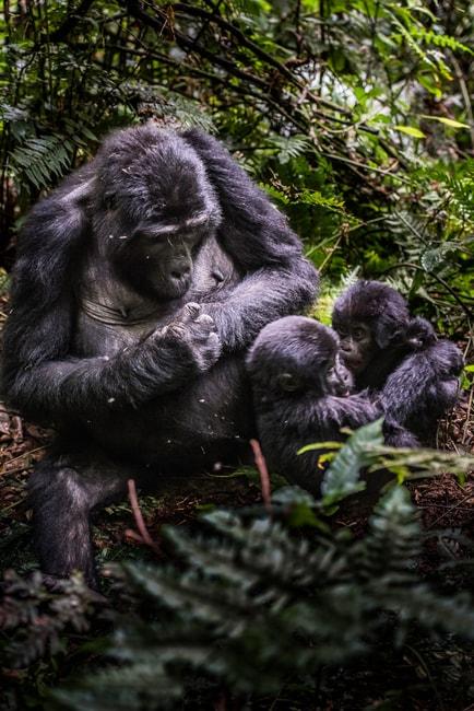 Mountain gorilla family   © Vaclav Sebek/Shutterstock