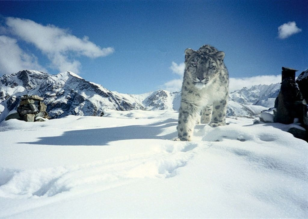 https://commons.wikimedia.org/wiki/File:Snow_Leopard_in_Hemis_National_Park.jpg