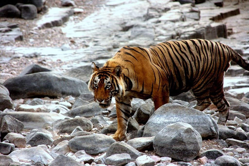https://commons.wikimedia.org/wiki/File:T-57_Ranthambore.jpg