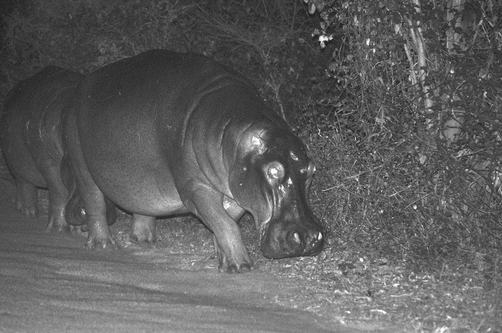 Street roaming hippo