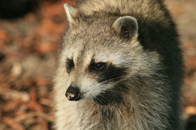 800px-Racoon_portrait_from_Hugh_Taylor_Birch_State_Park
