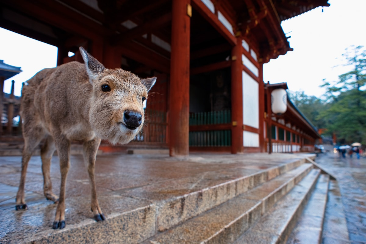 A_deer_on_the_steps_of_one_of_Exterior_of_Tōdai-ji_temple_complex_buildings._Nara,_Nara_Prefecture,_Kansai_Region,_Japan