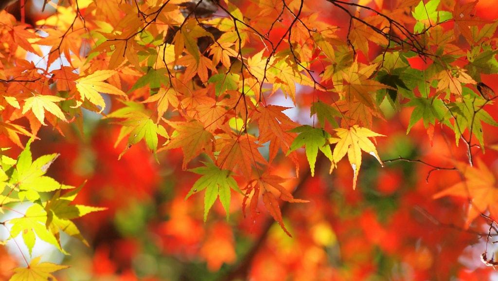 autumn-acer-coniferconifer-flickr