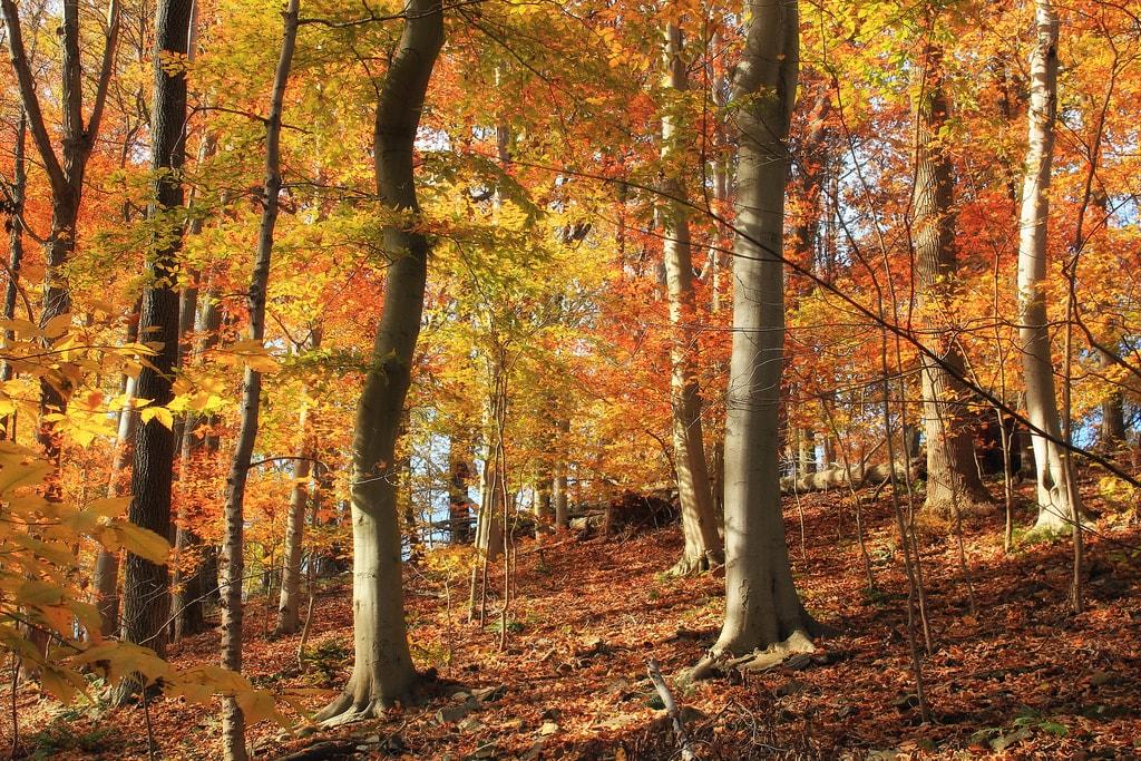 beech-trees-nicholas_t-flickr