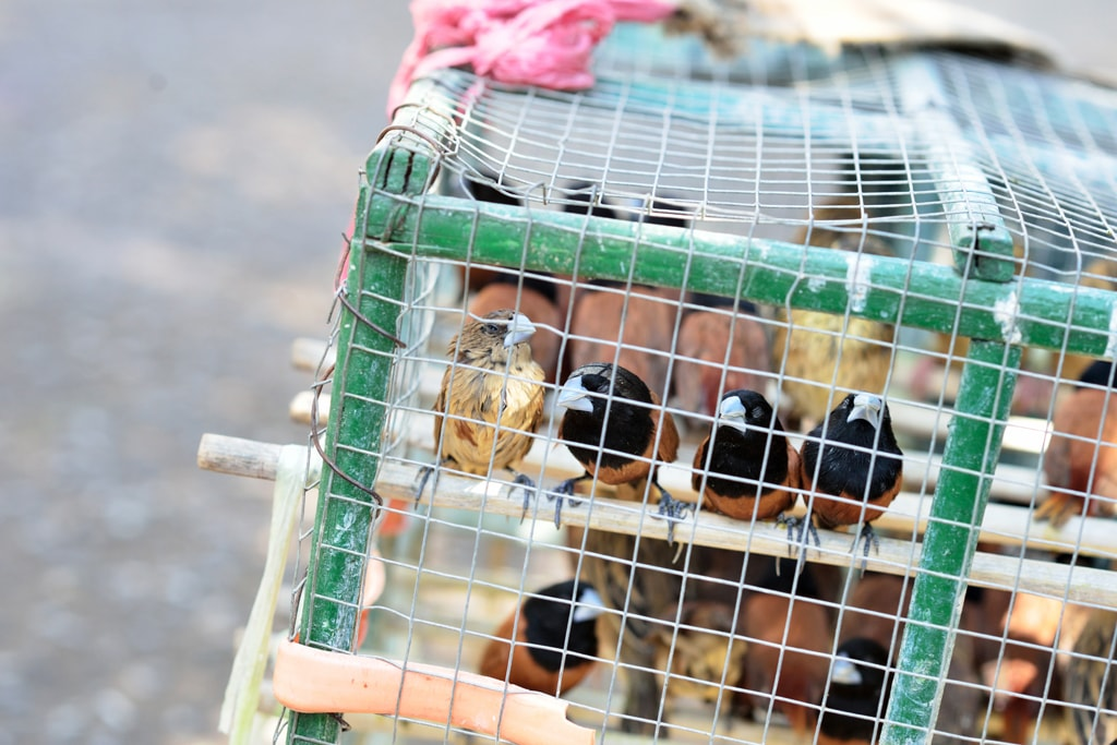 Caged-Birds-in-Yangon