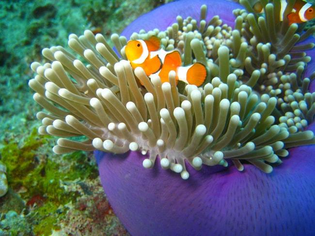 Clown Fish Scuba Diving Malaysia