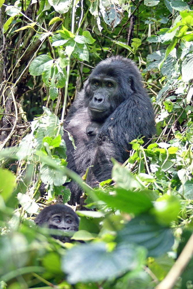 Crazy-Things-You-Have-To-Do-in-Africa_gorillas