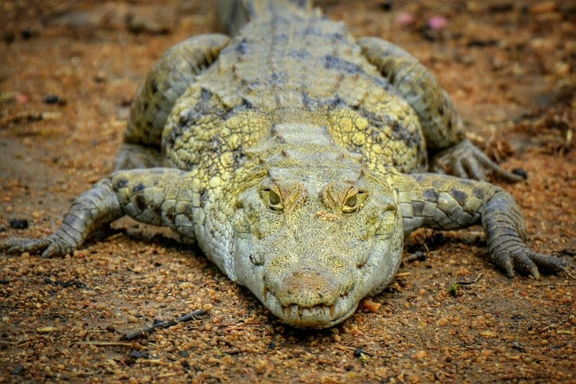 Crocodile at Paga