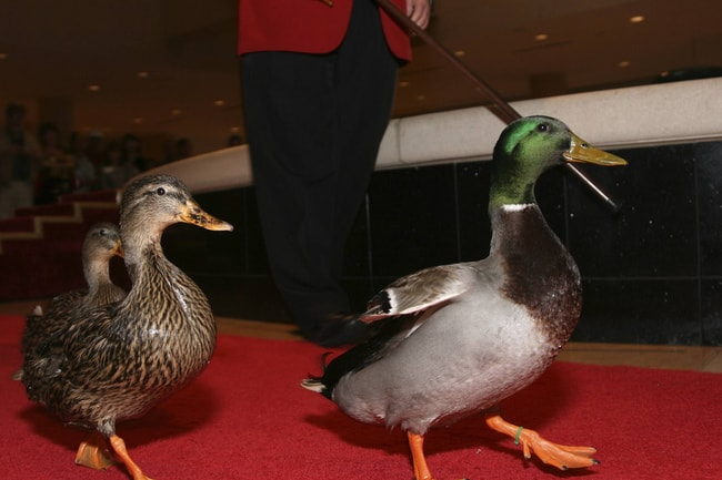 The Story Behind Memphis Daily Duck March